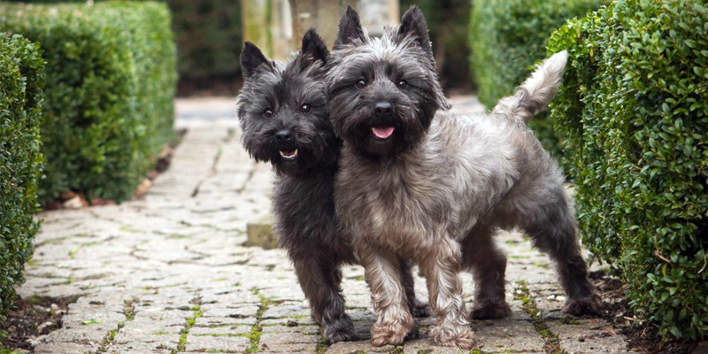 Cairn Terrier8-800x400