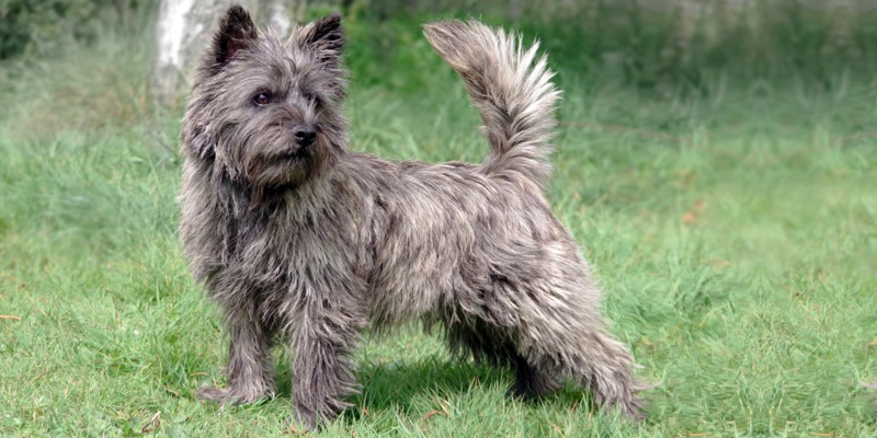 Cairn Terrier9-800x400