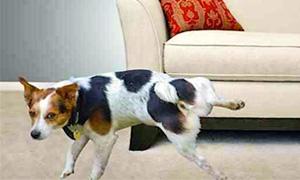 cane fa pipi in casa-1-300x180