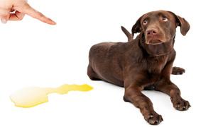 cane fa pipi in casa-2-300x180