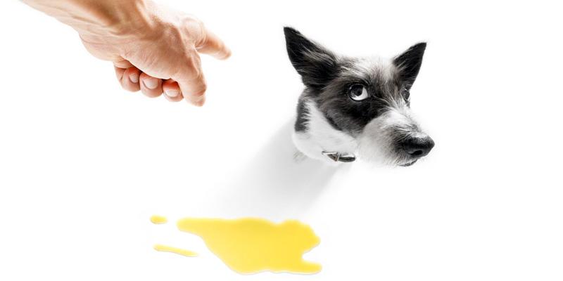 cane fa pipi in casa-2-800x400