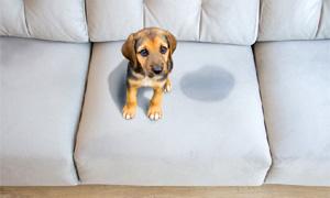 cane fa pipi in casa-4-300x180