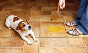cane fa pipi in casa-5-300x180