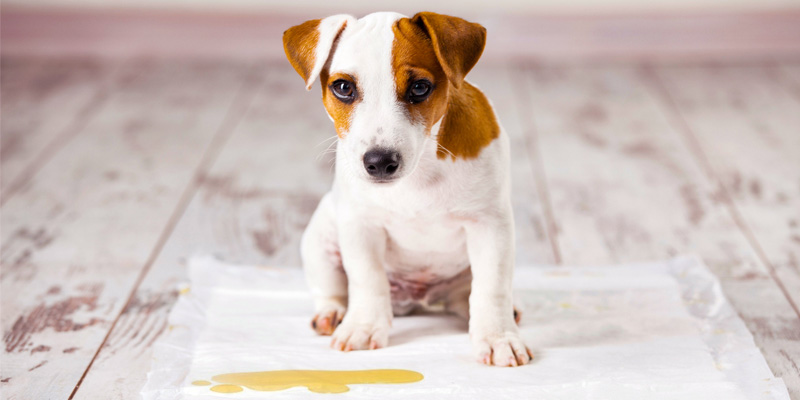 cane fa pipi in casa-6-800x400