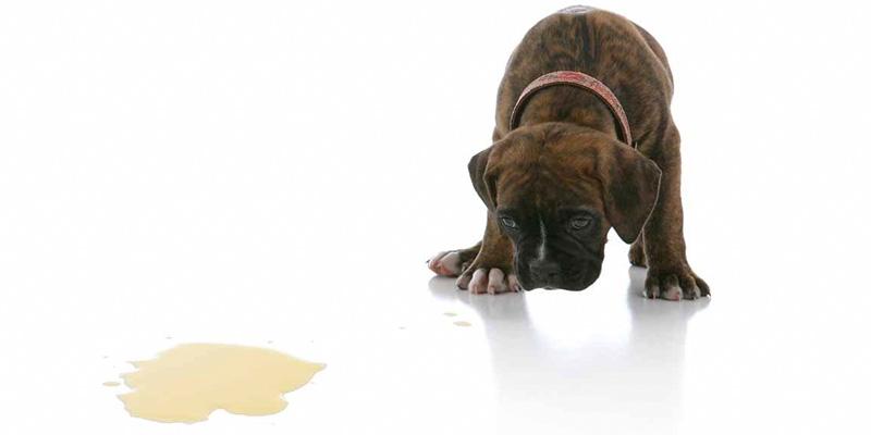 cane fa pipi in casa-8-800x400