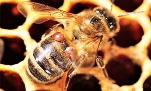 ape contaminata-2-300x180