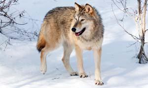 cane e lupo-1-300x180
