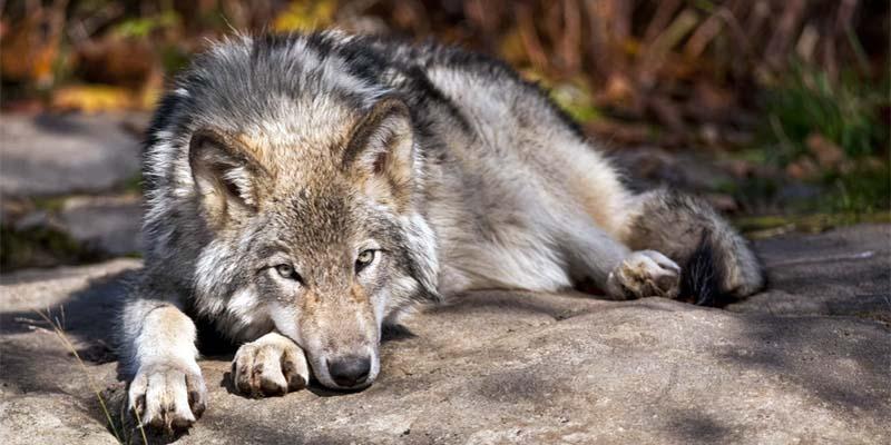 cane e lupo-10-800x400