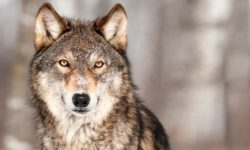 cane e lupo-11-800x400