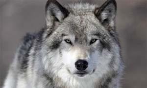 cane e lupo-3-300x180