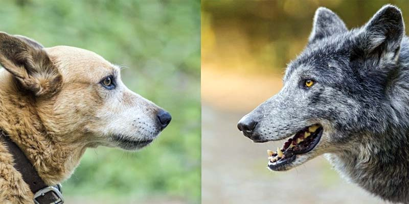 cane e lupo-3-800x400