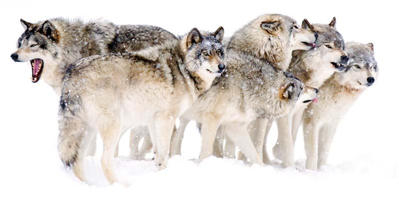 cane e lupo-5-800x400