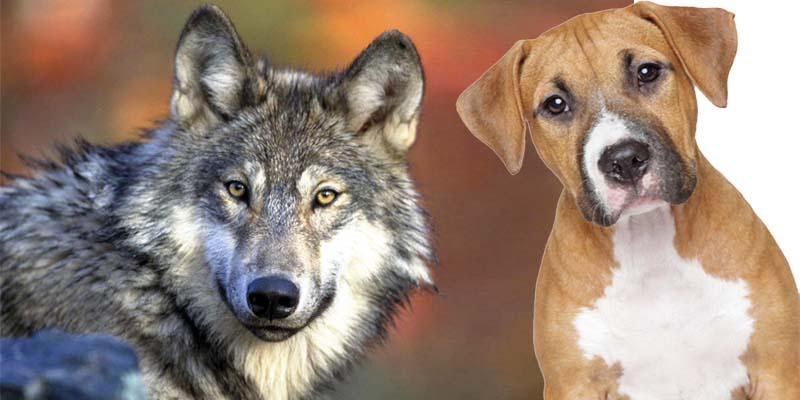 cane e lupo-8-800x400