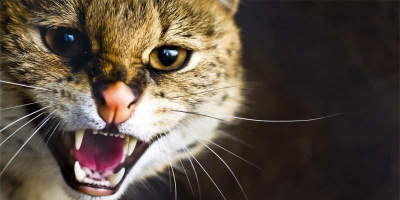 gatto-aggressivo-1-800x400