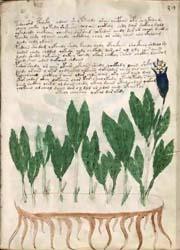 manoscritto Voynich5-300x180