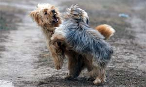 cane-aggressivo-4-300x180
