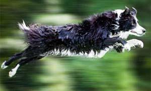 cane da pastore-300x180