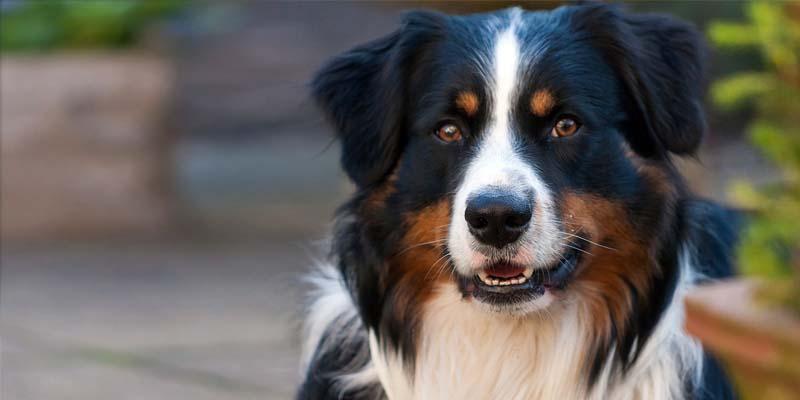 cane da pastore2-800x400