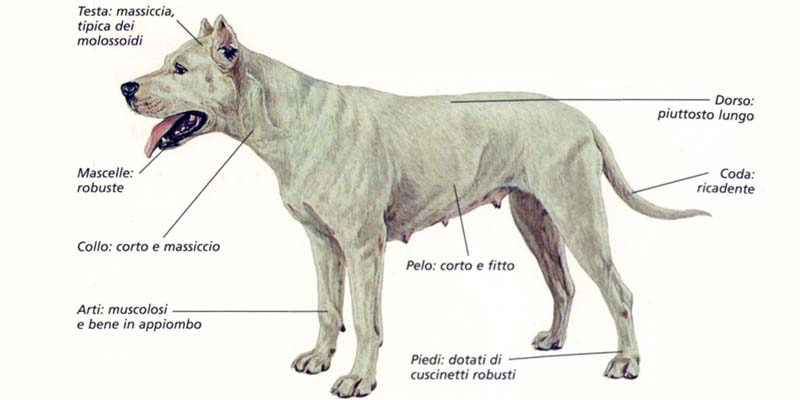 dogo argentino-7-800x400