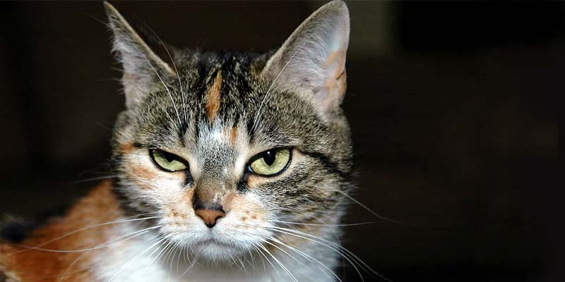 gatto-geloso-3-800x400