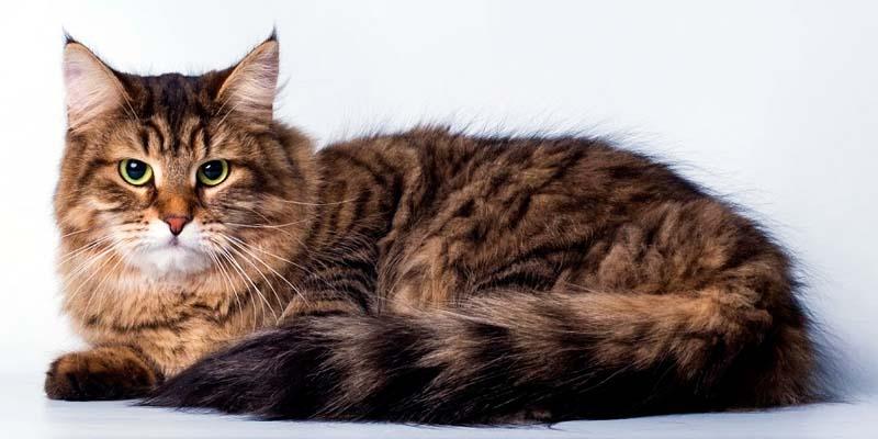 gatto-siberiano-10-800x400