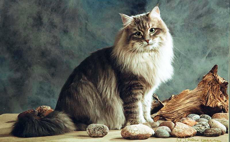 gatto-siberiano-11-800x400