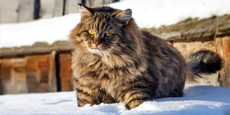 gatto-siberiano-2-800x400