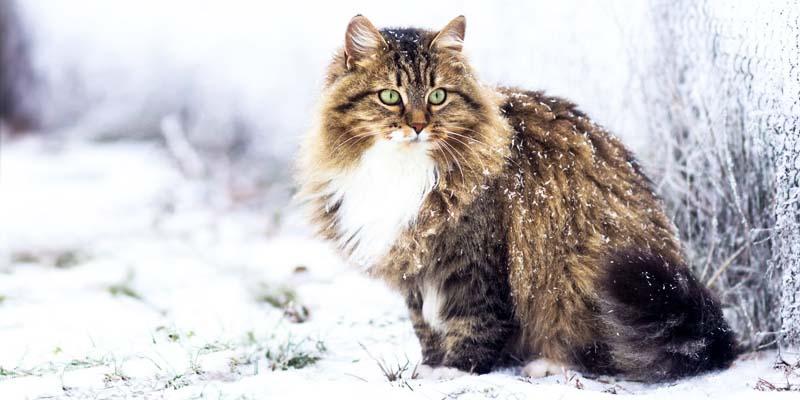 gatto-siberiano-3-800x400