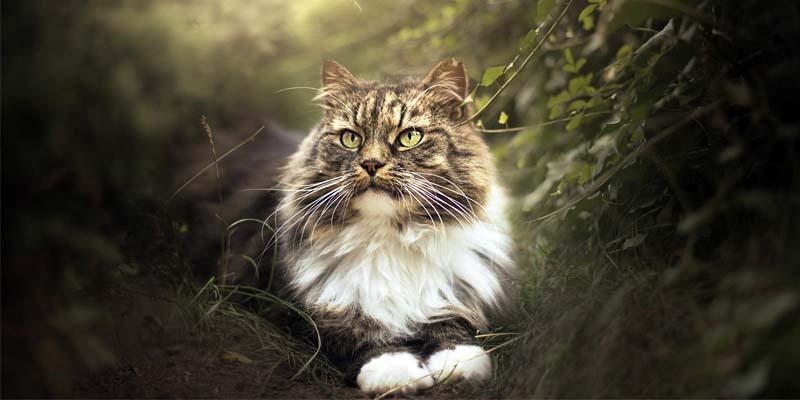 gatto-siberiano-5-800x400