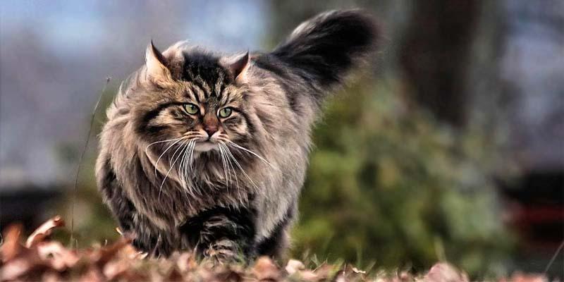 gatto-siberiano-7-800x400