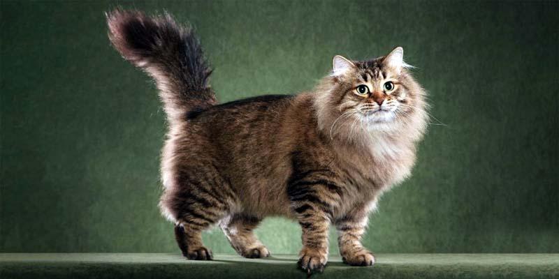 gatto-siberiano-8-800x400