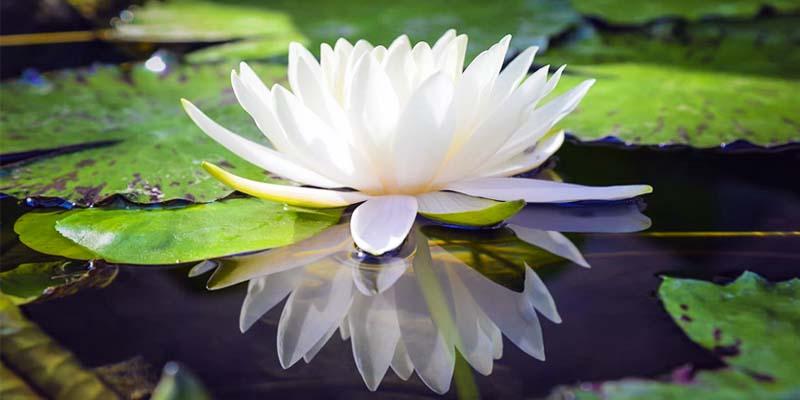 fiore di loto-8-800x400