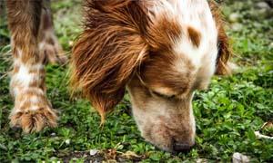 olfatto cane-2-300x180