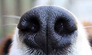 olfatto cane-5-300x180