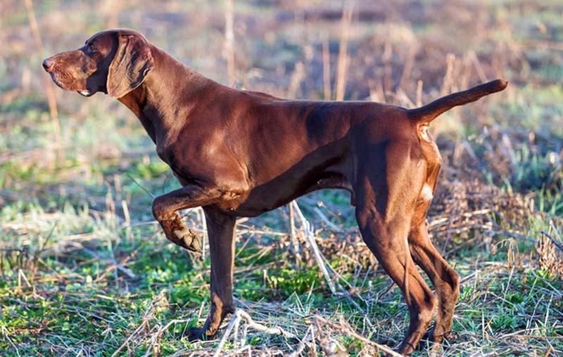 cani da caccia-2-800x400
