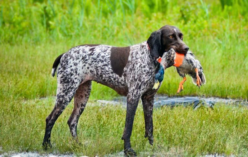 cani da caccia-3-800x400