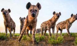 La iena: un animale utile, incredibilmente intelligente e abilissima nella caccia