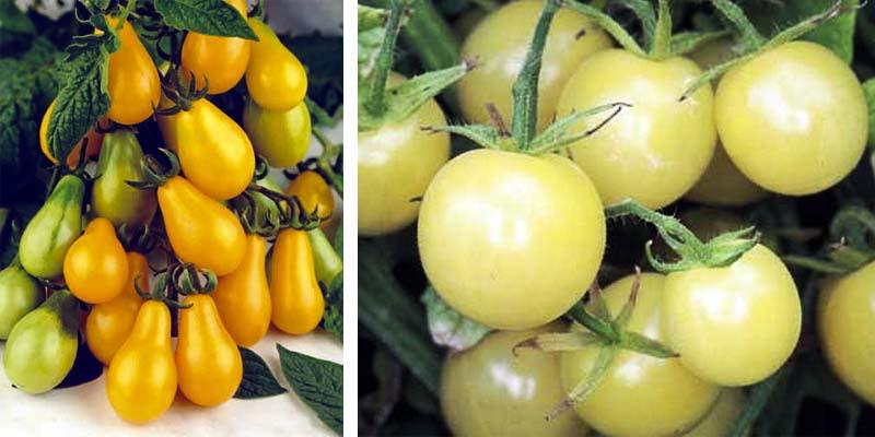 pomodori gialli e bianchi-800x400