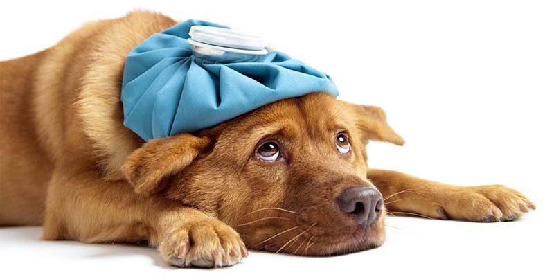 malattie del cane-1-800x400