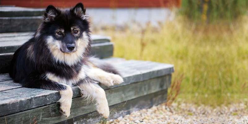 Lapphund-1-800x400