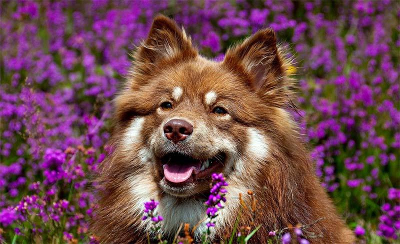 Lapphund-15-800x400