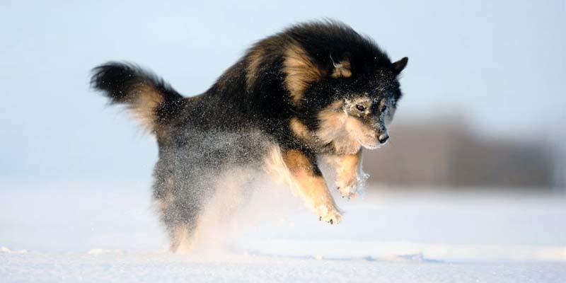 Lapphund-17-800x400