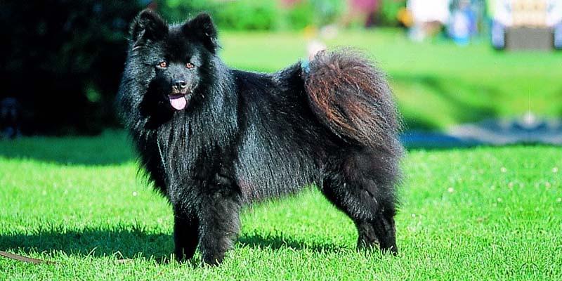 Lapphund-18-800x400