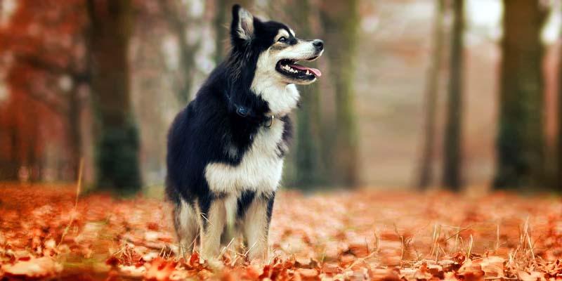 Lapphund-20-800x400