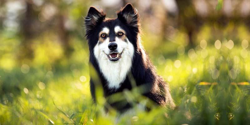 Lapphund-23-800x400