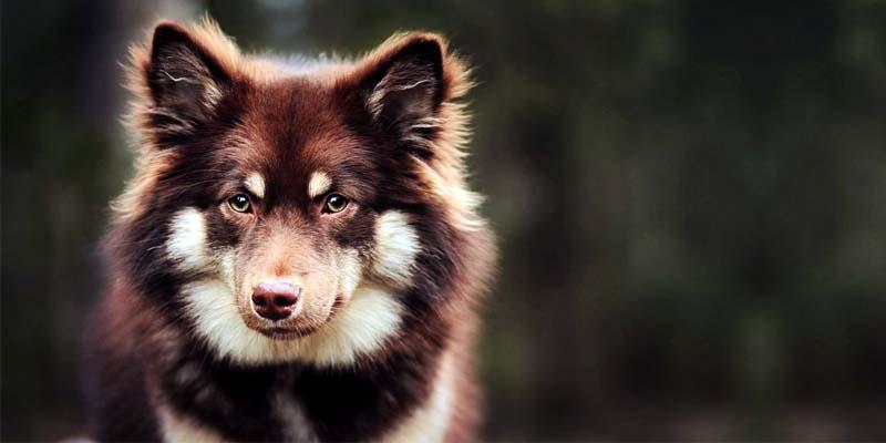 Lapphund-25-800x400
