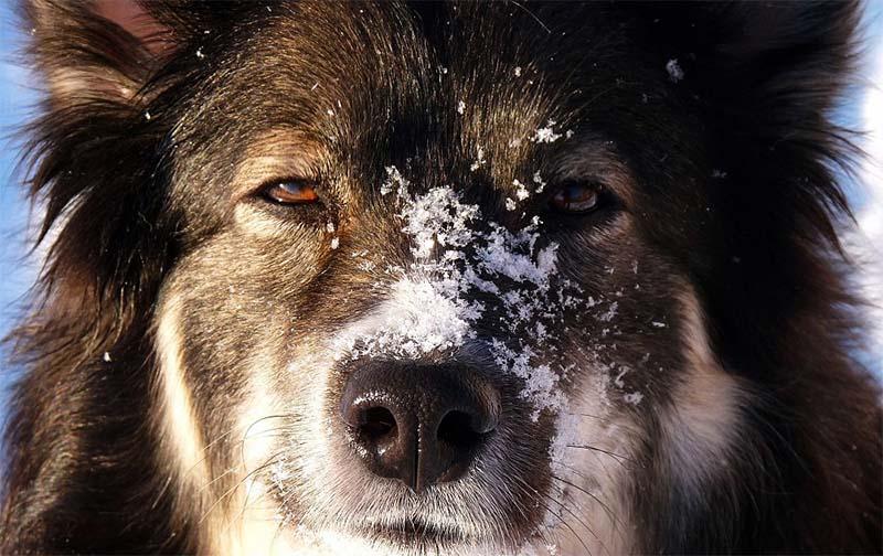 Lapphund-26-800x400
