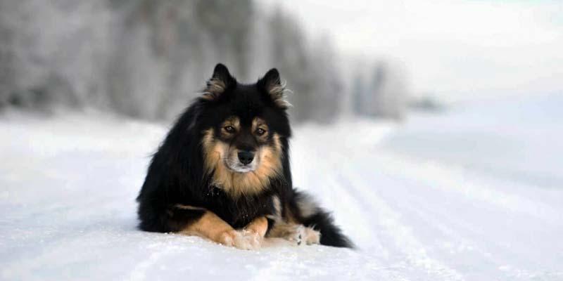 Lapphund-4-800x400