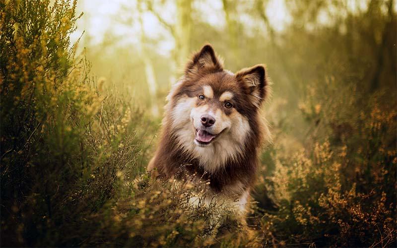 Lapphund-7-800x400