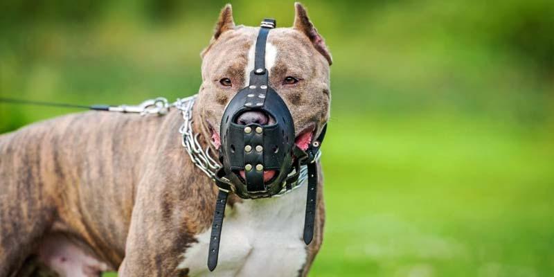 cane con museruola-4-800x400